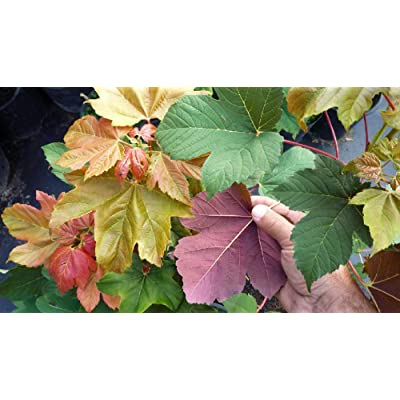 "Rare Regal Petticoat Sycamore Maple - 4"" Pot - Acer pseudoplatanus 'Tunpetti' : Garden & Outdoor"