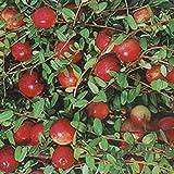 Bog Cranberry .... 20 Seeds