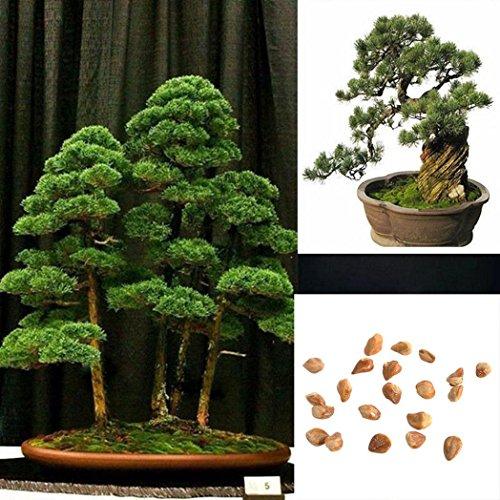 Tree Pine Bonsai White (Potato001 20Pcs Japanese White Pine Pinus Parviflora Green Plants Mini Tree Bonsai Seeds)