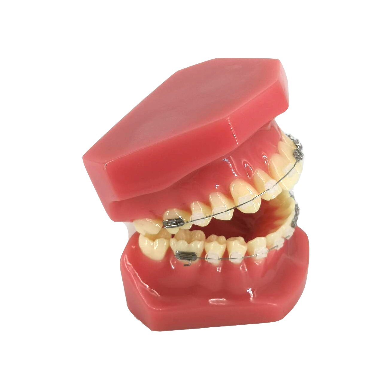 YOUYA Dental TM-208 Demonstration Orthodontic Model Teeth Teach Study Tools with Metal and Ceramic Bracket(Red) by YOUYA DENTAL (Image #2)