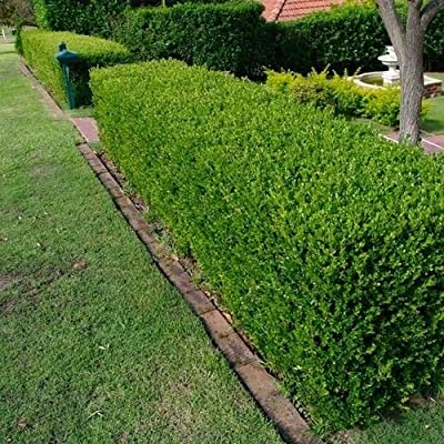 Wintergreen Japanese Boxwood Hedge Seeds (Buxus microphylla) 20+Seeds (20+) : Garden & Outdoor