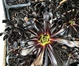 "Aeonium arboreum 'Zwartkop'– Black Rose, COMES IN A 4"" POT"