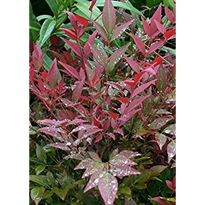 Southern Living Plant Collection 2.5 Qt - Obsession Nandina Plant, Quart, Color-Changing Evergreen Shrub : Garden & Outdoor