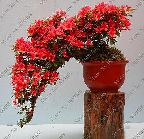 100 pcs sac Bonsai Rare 23 vari/ét/és dazal/ées bricolage maison et jardin des plantes avec des graines de fleurs japonais Sakura 1