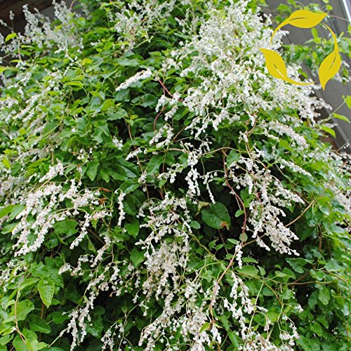 SILVER LACE VINE Polygonum Aubertii 10 SEEDS (Plant Silver Lace)