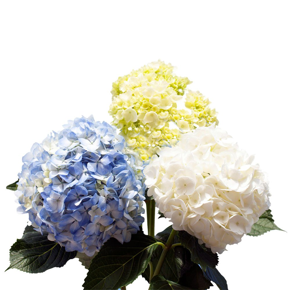 GlobalRose Hydrangeas - Fresh Cut Flowers- 20 Assorted Color Stems by GlobalRose