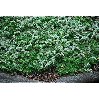 Perennial Farm Marketplace Sedum ternatum (Woodland Stonecrop) Groundcover, 1 Quart, White Flowers : Garden & Outdoor