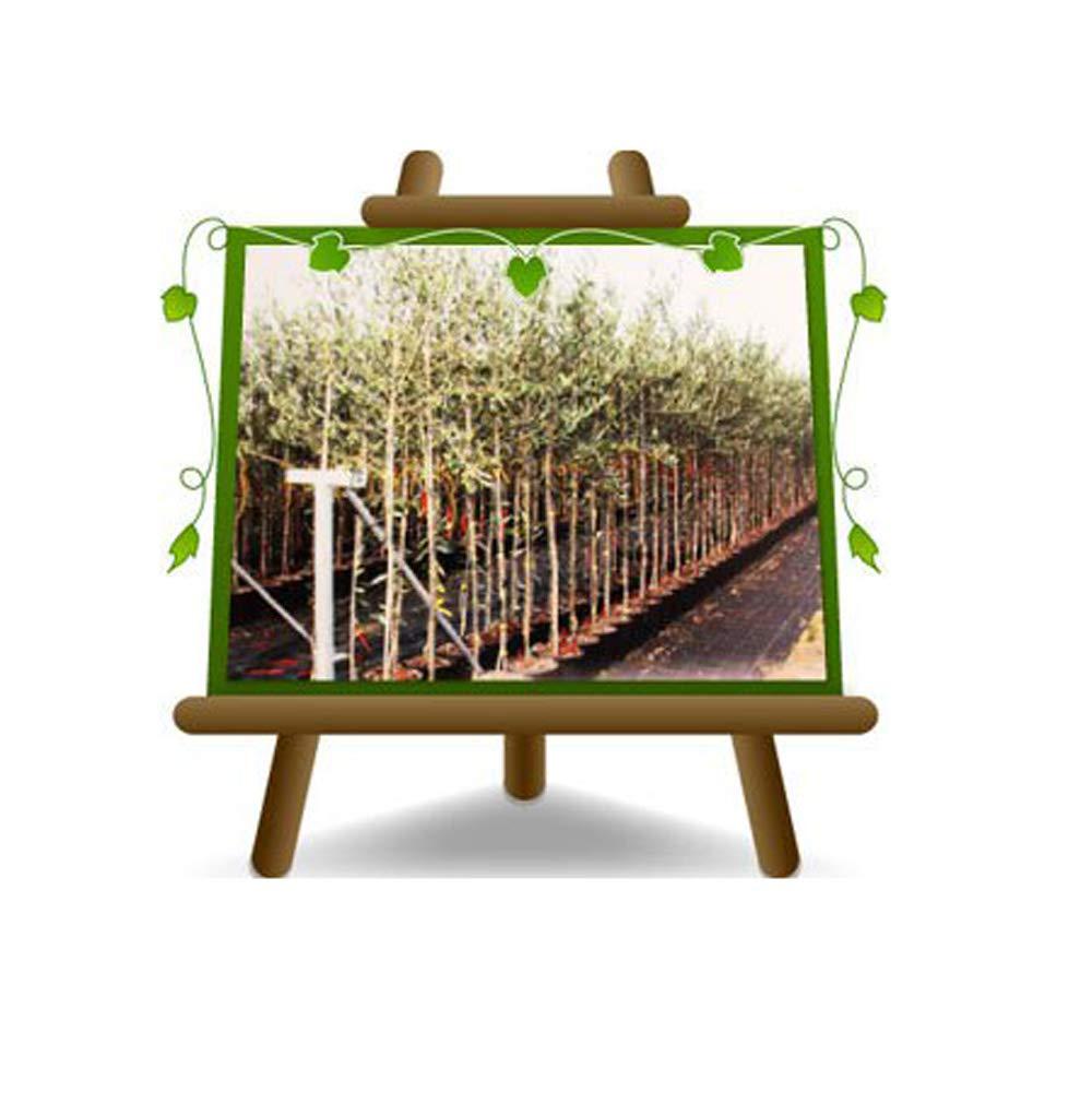 Olivi Leccino - Pianta da frutto su vaso da 20 albero altezza max 150 cm - 2 anni EuroPlants Vivai