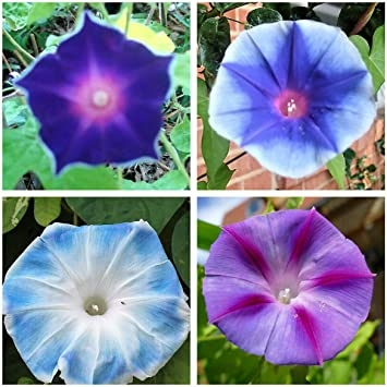 15 Seeds Morning Glory Electric Mix Flower Ipomoea