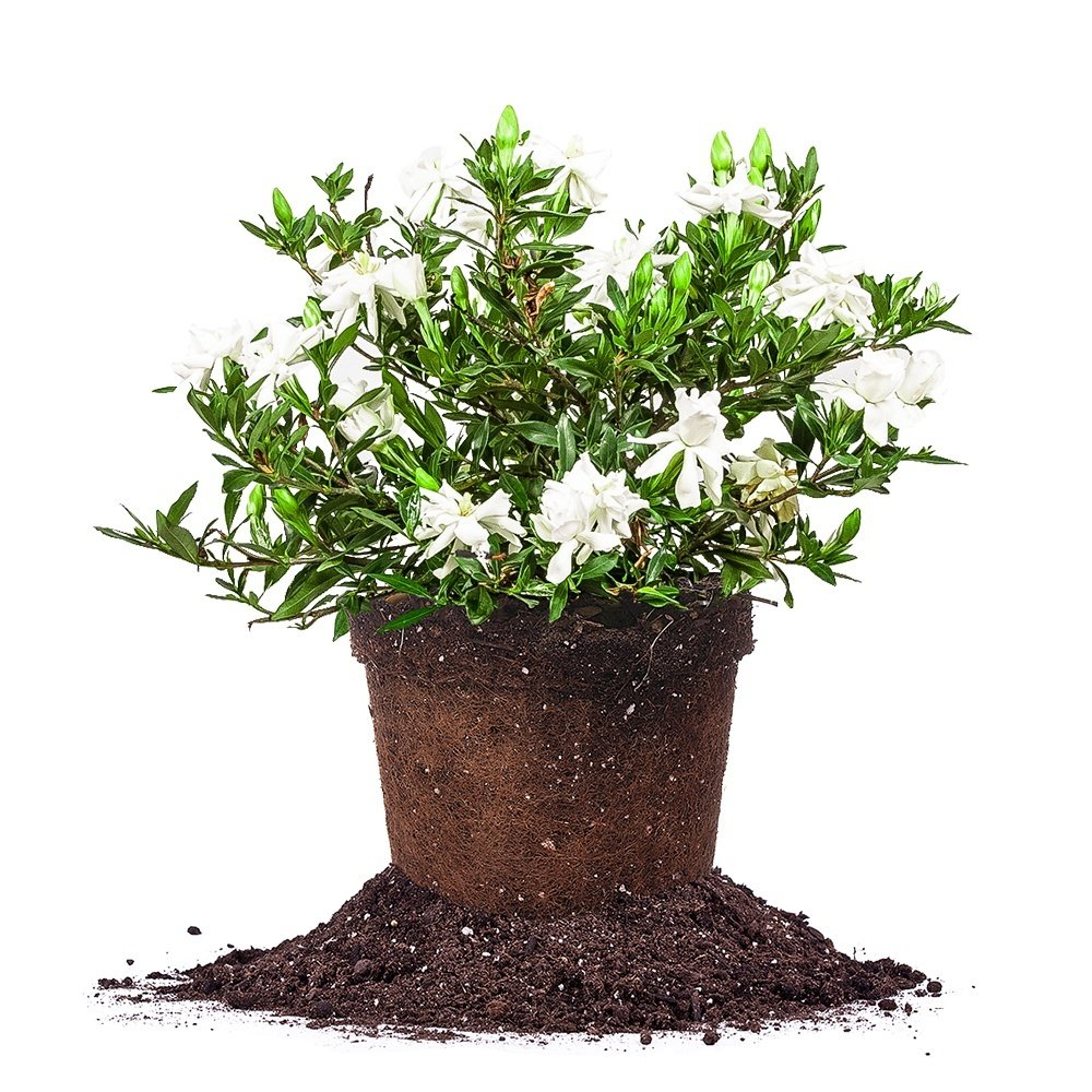 RADICAN Gardenia - Size: 3 Gallon, Live Plant, Includes Special Blend Fertilizer & Planting Guide
