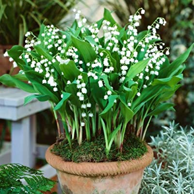 Tennessee526 Flower Seeds Garden Decor Plants Seeds 100Pcs Convallaria Majalis Lily Flower Seeds Bonsai Garden Balcony Roof Plant - Lily of The Valley Seeds : Garden & Outdoor