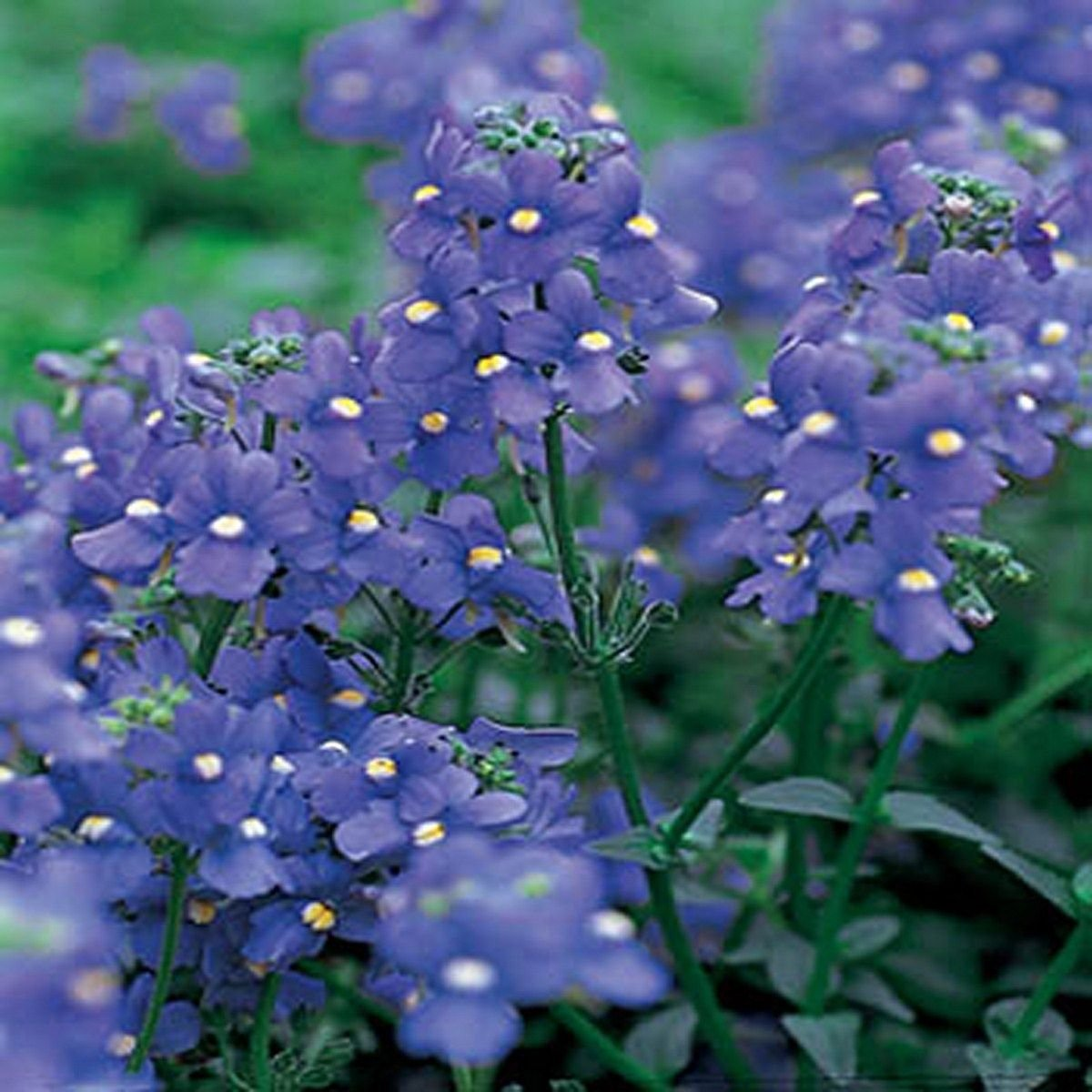 Nemesia- blue Gem- 100 Seeds