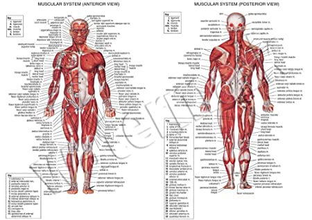 Human Muscular System A1 A2 A3 Science Muscle Education Human ...