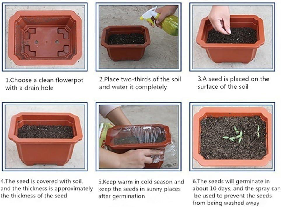 Yvetti 100Pcs Monilaria Obconica Seeds Beautiful Easy to Grow Home Landscape Ornaments DIY Bonsai Decor Garden Courtyard Home Office Blue Monilaria Obconica Seeds
