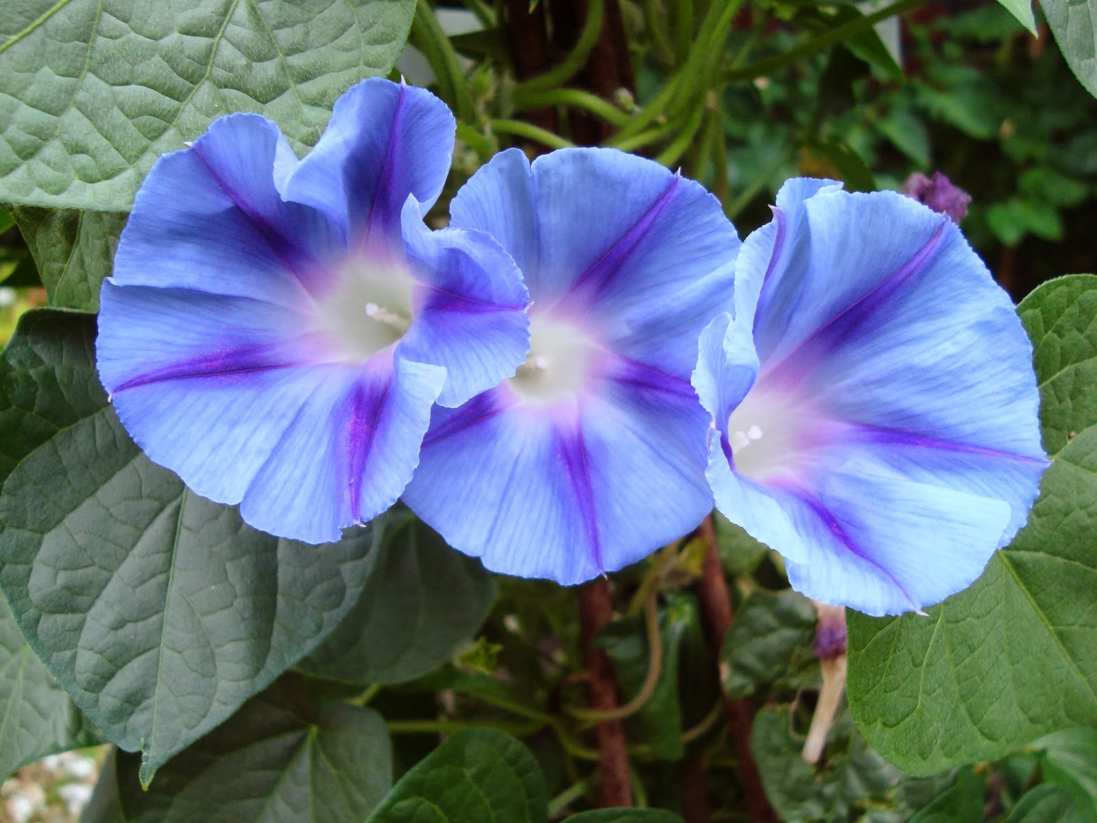20 Heavenly Blue Morning Glory Seeds