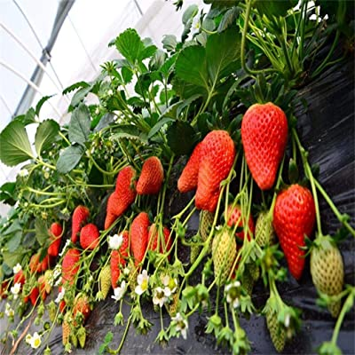 Oliote Climbing Strawberry Four Season Home Garden Balcony Fruits Decor Plants Seeds Flowers: Home Improvement