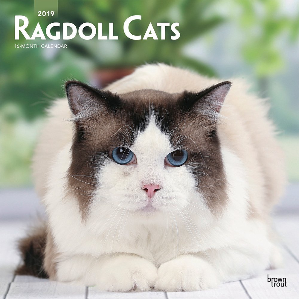Ragdoll Cats 2019 12 x 12 Inch Monthly Square Wall Calendar, Animals Cats