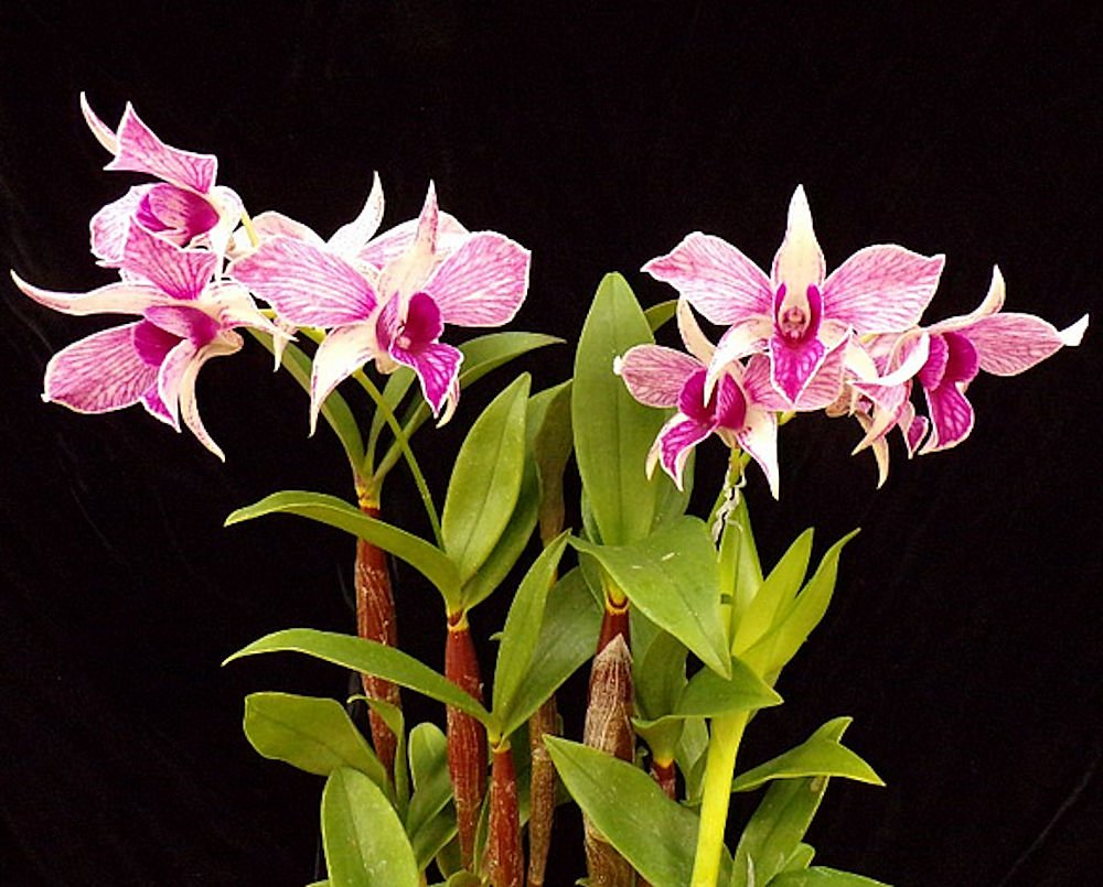 Orchid Dendrobium Fire Wings ....... Stock #164
