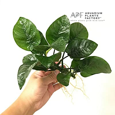 Anubias Butterfly Barteri Loose Big Huge Live Fresh APF Aquarium Plants Factory : Garden & Outdoor