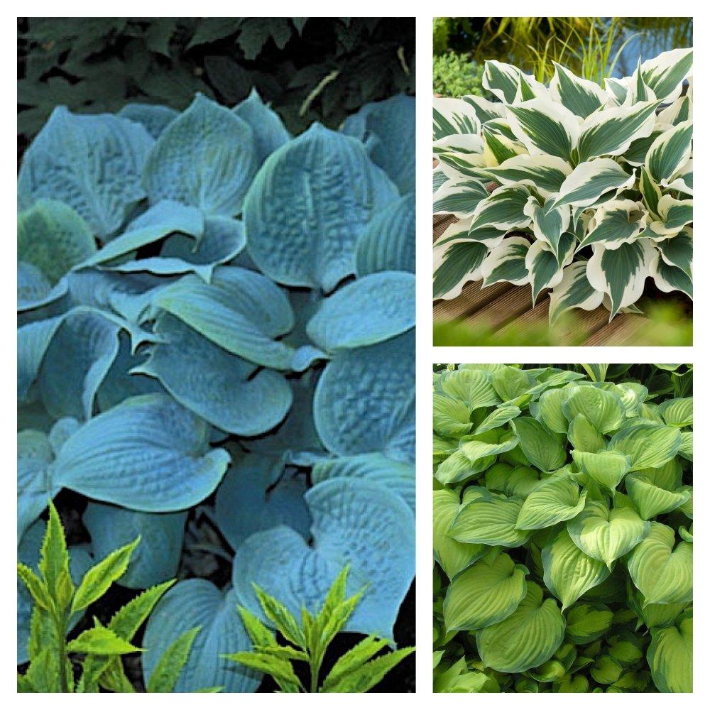 1 x Hosta plantaginea /'Fragrant Blue/' 1 Liter Funkie, Herzblatt-Lilie Staude