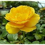 "Julia Child Rose Bush - Strong Fragrance - Butter Yellow - 4"" Pot"