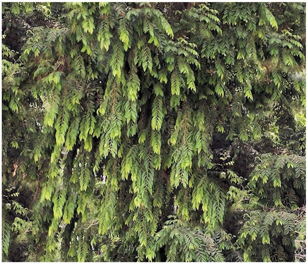 Amazon Com Putranjiva Roxburghii 8 Seeds Lucky Bean Tree Child