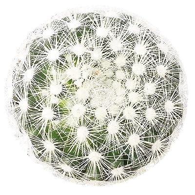 """Mammillaria Carmenae Albiflora Isla Carmen Pincushion Cactus (3.5"""" + Clay Pot) : Garden & Outdoor"""