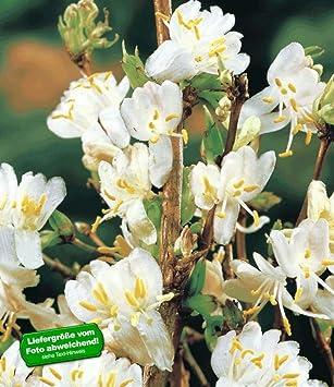 Baldur-garten Duftendes Winter-geißblatt, 1 Pflanze Lonicera ... Pflanzen Garten Im Winter
