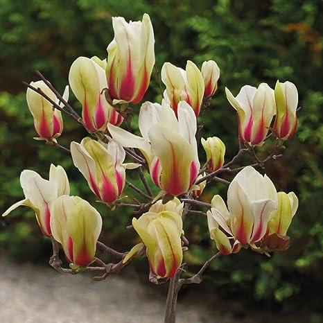 Thompson Morgan Magnolia Tree Outdoor Deciduous Garden Shrub For