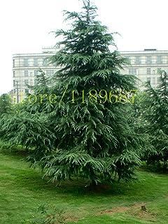 Podocarpus gracilior Afrocarpus Seeds Fern Pine tropical evergreen tree Easy