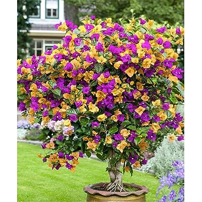 Jlong Multicolor Bougainvillea Seeds Beautiful Bonsai Flower Seeds Plant for Home Garden Perennial Courtyard Planting : Garden & Outdoor
