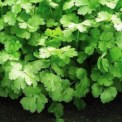 Cilantro Seeds, Coriander Seeds, Organic Vegetable Seeds Non-GMO for Home Garden : Garden & Outdoor
