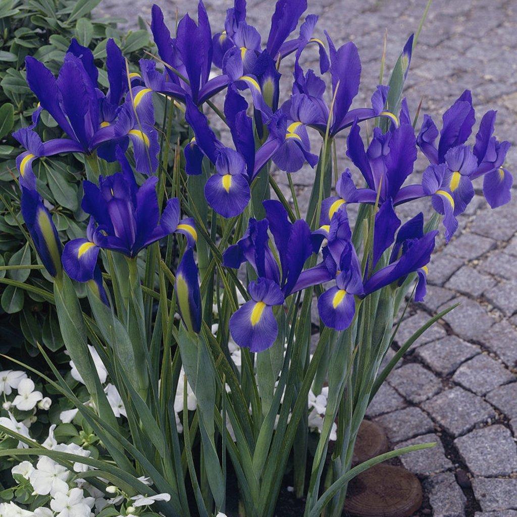Van Zyverden Dutch Iris Wedgewood Set of 25 Bulbs by VAN ZYVERDEN