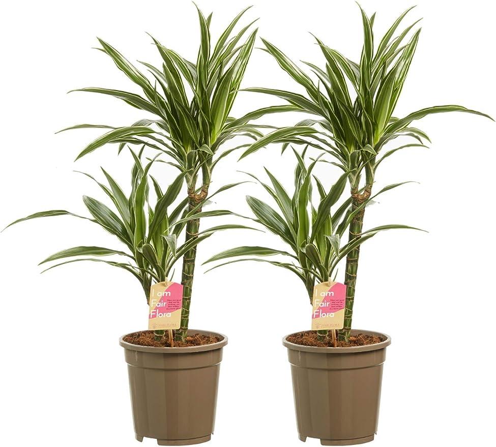 Plantas de interior de Botanicly – 2 × Árbol dragón – Altura: 60 ...