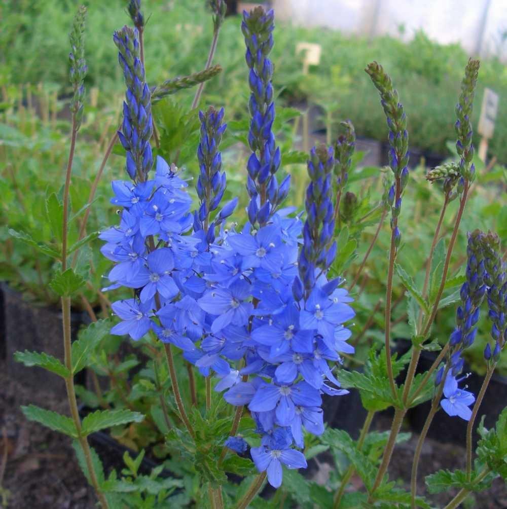 lichtnelke - Österreichischer Ehrenpreis (Veronica austriaca ssp.teucr.) Lichtnelke Pflanzenversand