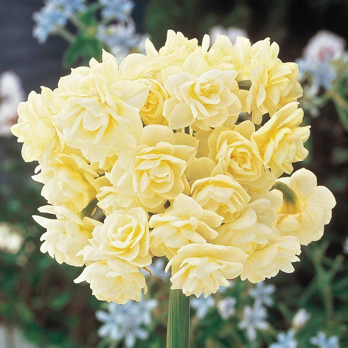 Spring Cheer Daffodil Spring Flowering Bulbs - A perfumed Bouquet of Beauty on a Single stem! 5 Bulbs Measuring 13+ cm per Order by BRECK'S