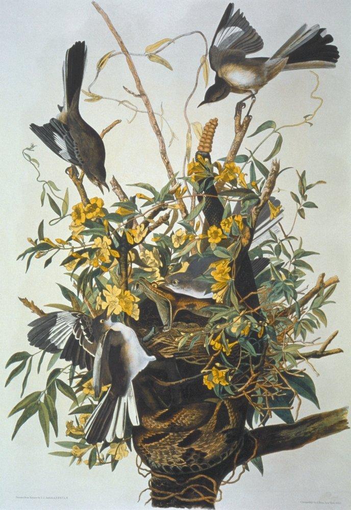 Northern Mockingbird N Lithograph 1858 By Julius Bien After John James Audubon Poster Print by Mimus Polyglottos 18 x 24