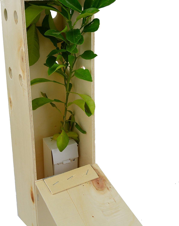 Naranjo amargo. Arbolito de pequeño tamaño en caja de madera ...