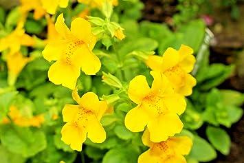 Amazon yellow monkey flower 249 seeds mimulus guttatus yellow monkey flower249 seeds mimulus guttatus pretty in sun and shade mightylinksfo