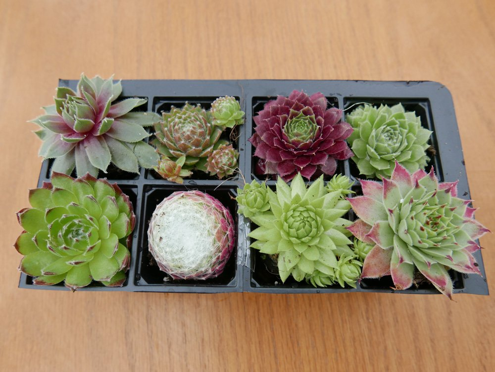 A Collection Of 8 Sempervivum Plants House Leeks (Hen And Chicks) by Amazon