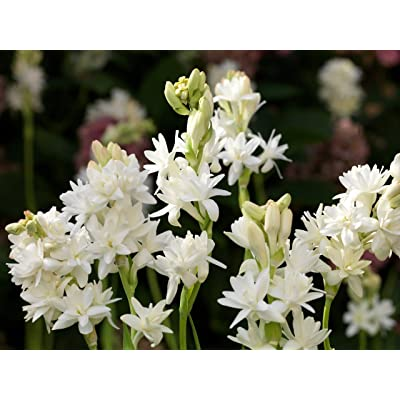 Tuberose Double Pearl 10 Medium Size Bulbs FRAGRANT : Garden & Outdoor