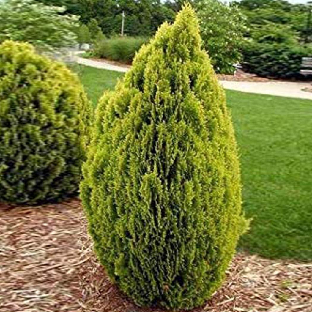 Platz 4 – Lebensbaum Thuja Brabant Cypress Saatgut
