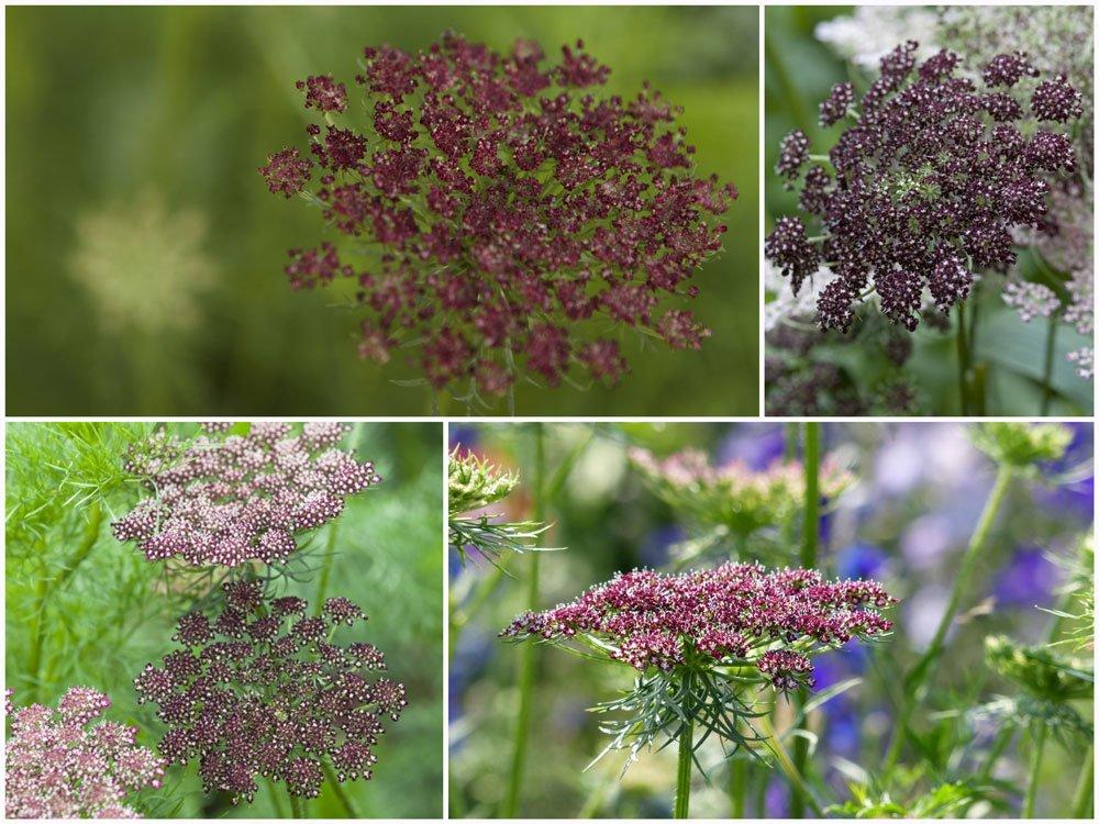Daucus carota 'Dara' Seeds. Chocolate Lace Flower Country Garden Seeds