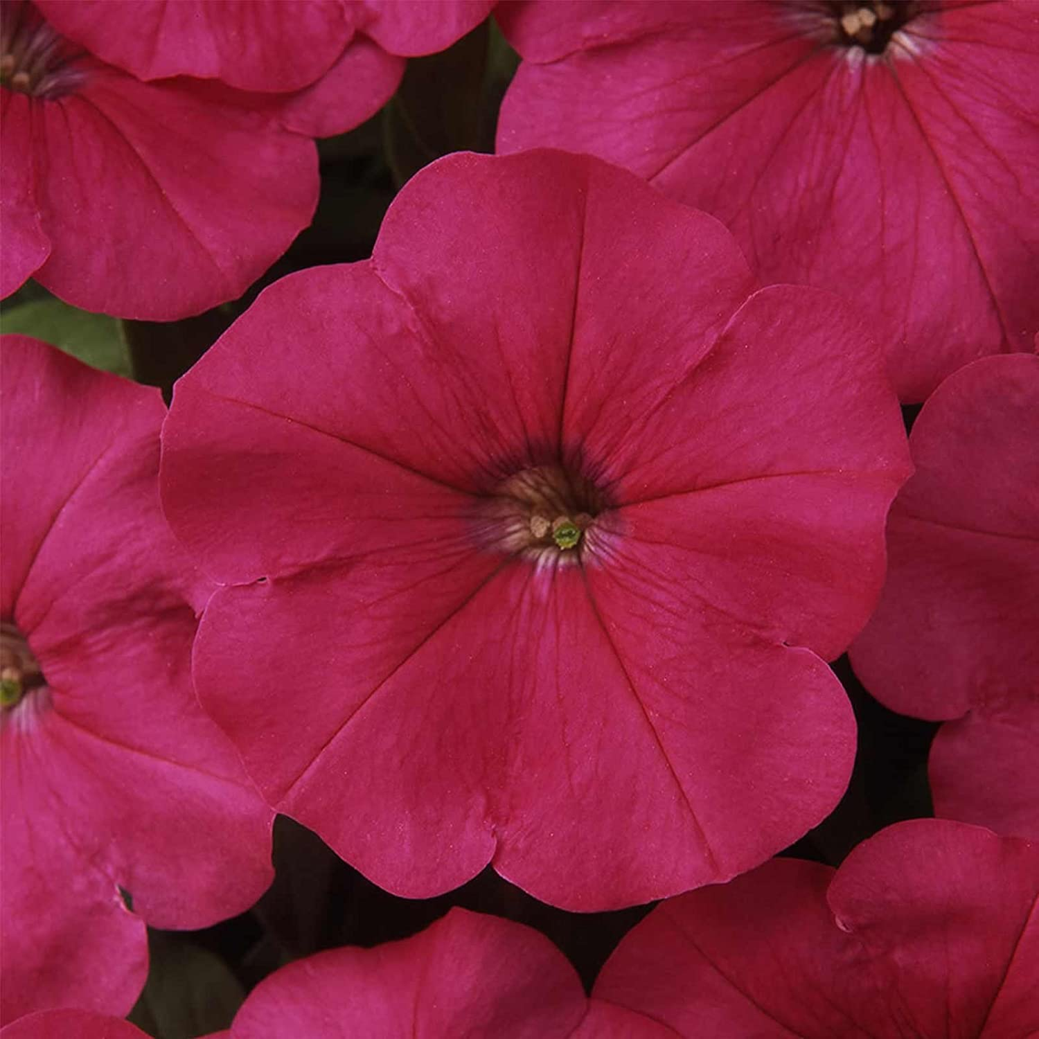 Amazon Petunia Madness Series Flower Garden Seed 1000