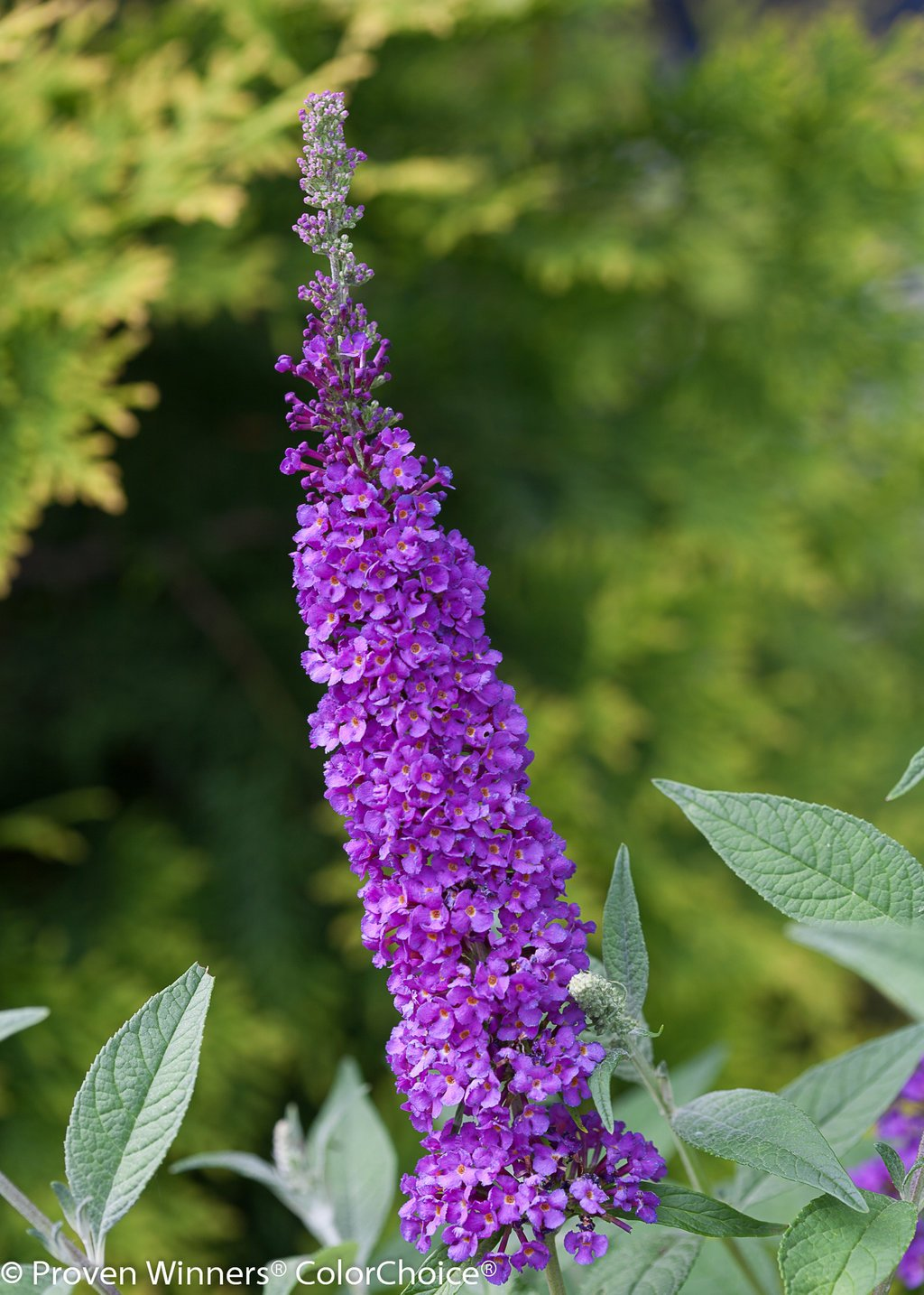 1 Gal. Miss Violet Butterfly Bush (Buddleia) Live Shrub, Purple Flowers by Proven Winners (Image #5)