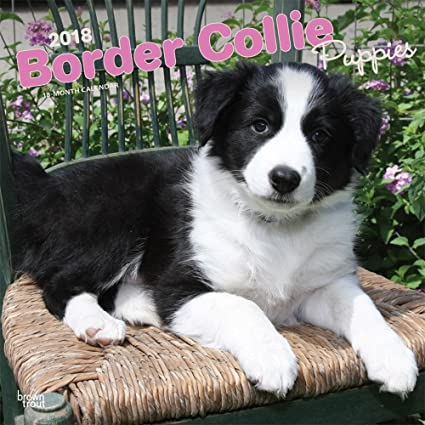 Amazoncom Border Collie Puppies 2018 Wall Calendar Office Products