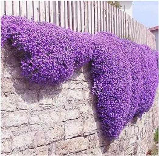 Fiori Tappezzanti.Semi Di Fiori 100 Aubrieta Seeds Semi Di Cascade Fiore Viola