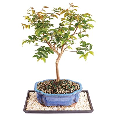 "Brussel's Live Jaboticaba Indoor Bonsai Tree - 6 Years Old; 10"" to 14"" Tall with Decorative Container, Humidity Tray & Deco Rock: Garden & Outdoor"