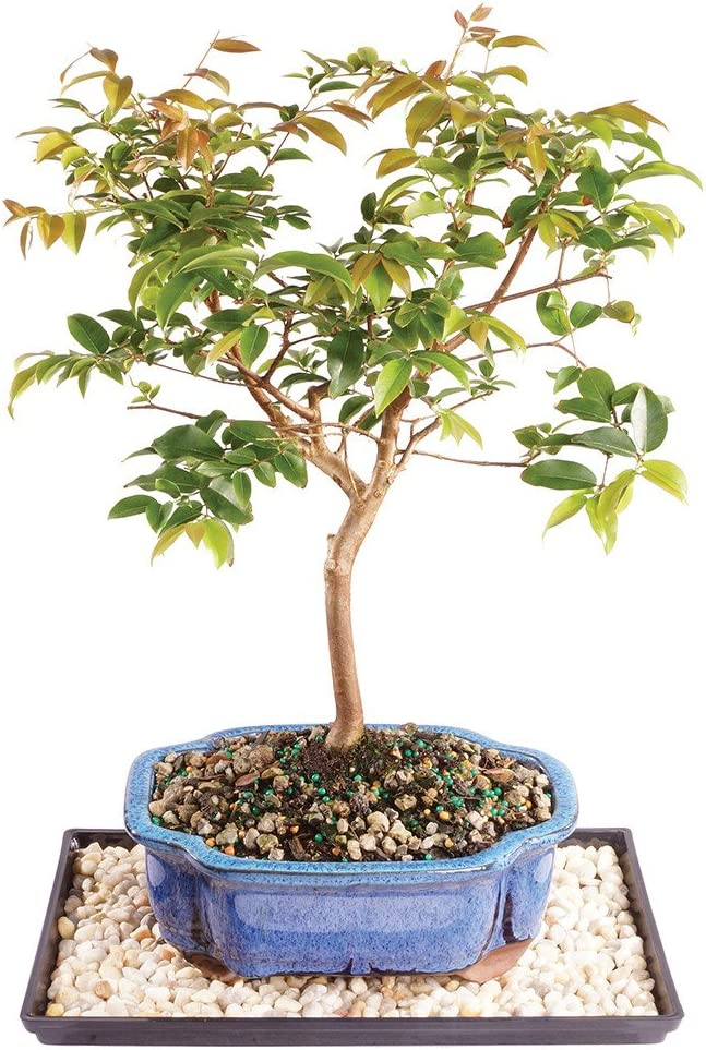 Brussel's Live Jaboticaba Indoor Bonsai Tree - 6 Years Old; 10