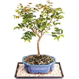 Amazon Com Bonsai Boy S Flowering Dwarf Weeping Barbados Cherry Bonsai Tree Large Malpighia Pendiculata Bonsai Plants Grocery Gourmet Food